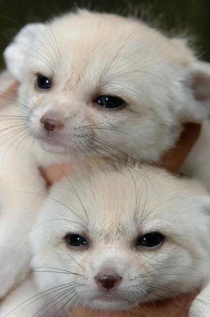 cachorros de zorros - Marianela Garcet
