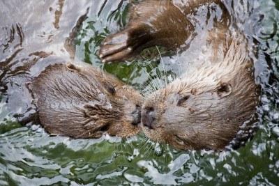 dos-nutrias-nadando-cara-a-cara-en-el-agua-de-cerca