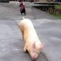 Cerdo peregrino